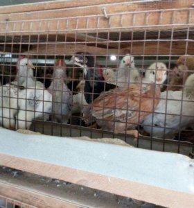 Цыплята, куры, петухи