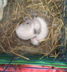 Вислоухие крольчата декоративные