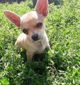 Обворожительный щенок чихуахуа