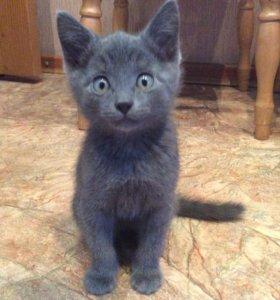 Котёнок, цвет дымчатый