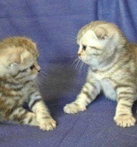 Очаровательные шотландские котята