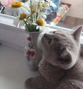 Котёнок британец