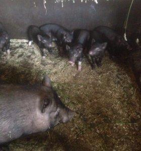 Поросята чёрной свиньи