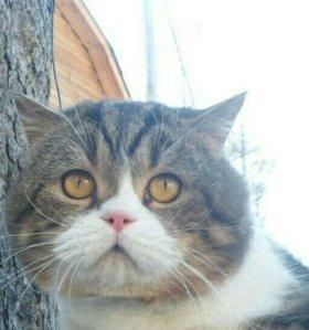 шотландский кот с родословной (вязка, продажа).