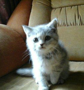 Шотландские котята- девочка и мальчик.
