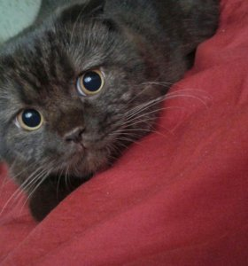 Чистокровный шотландский кот!! Вязка
