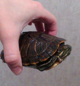 Черепахи:самец и самка.