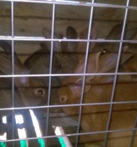 Кролики породы НЗК