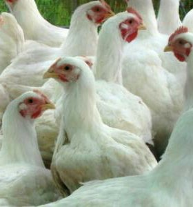 Парное мясо цыплят-бройлеров