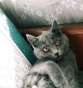 Полупородистый британский котенок