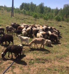 Срочно продаю овец
