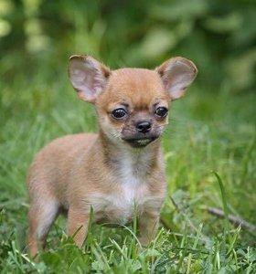 Чихуахуа мини щенки