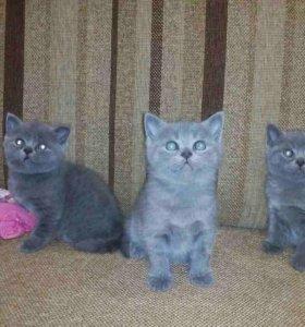Очаровательные котята британцы