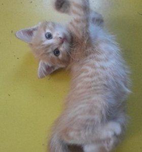 красивый рыжий котенок - в добрые руки
