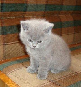 Продам плюшевого Британского котенка