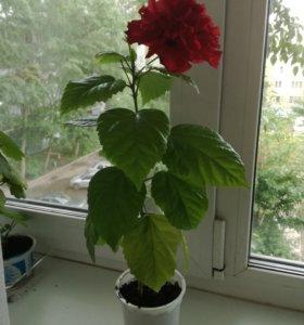 растение Китайская роза