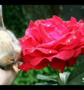 Роза и другие карликовые кролики, привиты