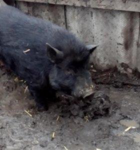 вьетнамские поросята 1.6 месяца . две свинки 10 месяцев