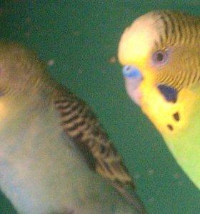 Птенцы волнистого попугайчика.