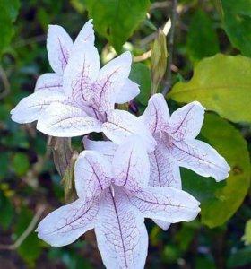 Красивоцветущее растение
