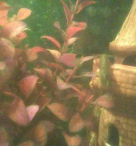 Мраморные аквариумные раки