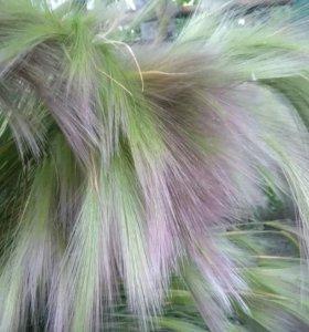 Для сада красивое растение кавыль декоративный.