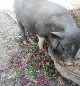Вьетнамские поросята и свиньи