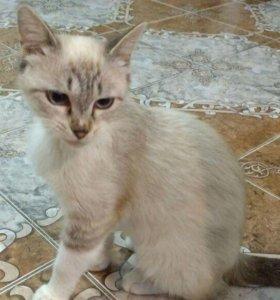 Пристрою Красивую Ласковую Тайскую Кошку!