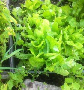 Щавель и салат