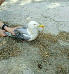 Продам чайку