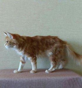Кошка мейн-кун 1,5 года за символическую плату