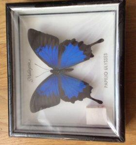 Бабочка в рамке Парусник улисс