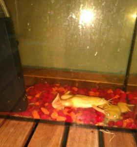 Аквариумные лягушки Зооцентр Меридиан