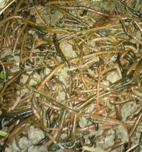 Зеленые черви
