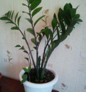 Долоровое дерево