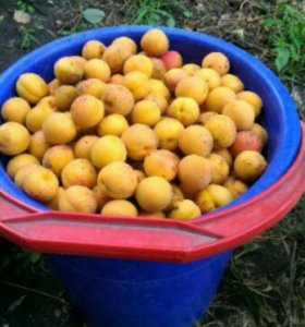 абрикос домашний