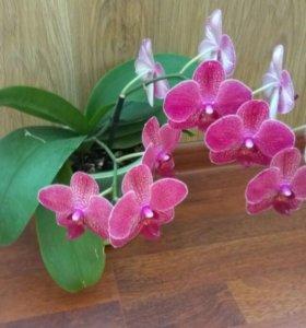 Орхидея бардовая