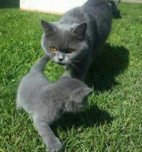 Продаются!!!!! Хорошенькие британские котята
