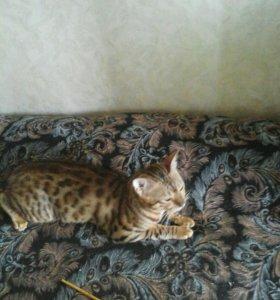 Кот бенгал для вязки