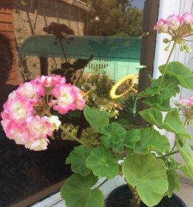 Герань кусты цветущая сортовая