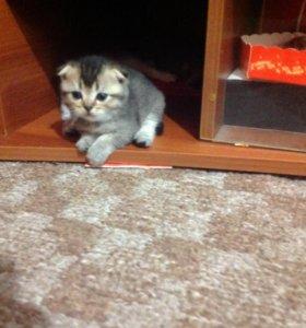 Продам шотландских котят вислоухих!