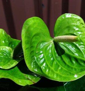 Зеленый антуриум