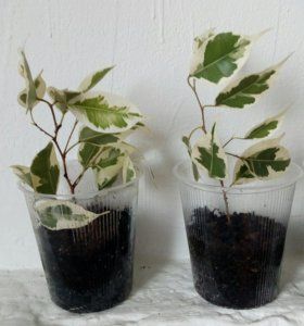 Фикус цветок (веточки уже укоренились)