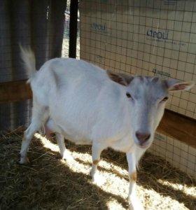 Продаю козу.