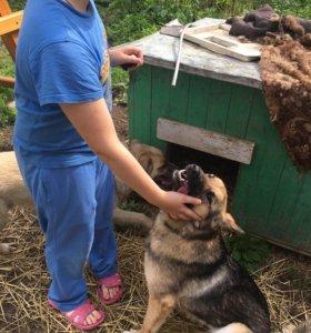 Метис овчарки