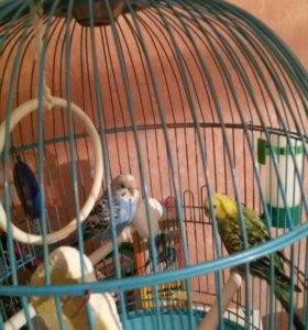 Волнистые 2 попугайчика