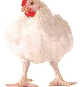 "Цыплята бройлера ""Хаббард"""
