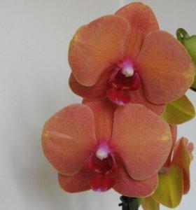 Орхидея оранжевая Подросток