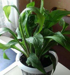 Калла жёлтая, взрослое комнатное растение