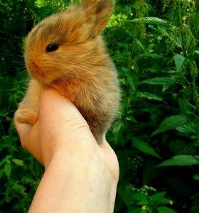 Рыжый карликовый кролик, привит,клетка